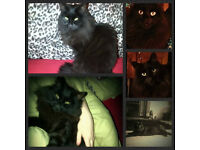 Esme is missing since 28th May 18 - Drumard , Lisburn -7 yr old black long haired house cat.
