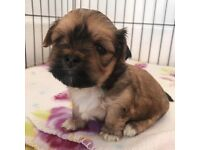 KC Registered Lhasa Apso Puppies