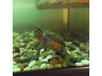 One baby Musk turtle less then a year old or two musk turtles with whole set for 350