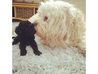 Cavapoo Puppies from DNA Health Tested Parents