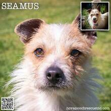 Seamus - Small Male Jack Russell Terrier Blend Metford Maitland Area Preview