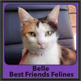 Belle - Best Friends Felines Coorparoo Brisbane South East Preview
