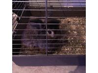 rabbit (lionhead)