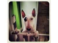 4 year old English bull terrier for sale