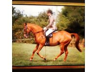 Lovely 16hh gelding for full loan (to move yards)