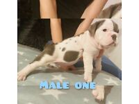 Top quality English bulldogs for sale