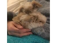 Baby rabbit for Sale 8 weeks old