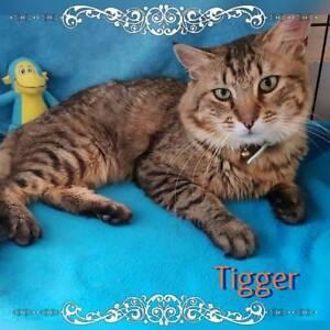Tigger~Rescue Cat~Vet Work Included