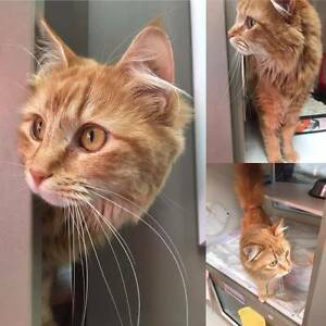 Ginger female tabby - Free to a good home! Alfred Cove Melville Area Preview