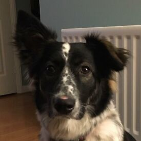 Lila a collie x is looking for her forever home