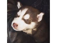 adorable husky pups