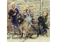 Champion Caucasian Shepherd puppies