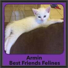 Armin - Best Friends Felines Zillmere Brisbane North East Preview