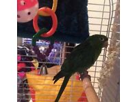 3year old white eyed conure, cage and accessories