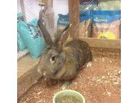 continental giant doe rabbit