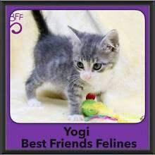 Yogi - Best Friends Felines Bray Park Pine Rivers Area Preview
