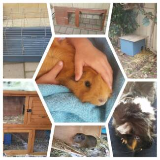 Guinea Pigs and all accessories