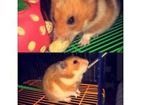 Syrian Hamster & Cage
