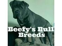 Neapolitan Mastiff X Old Tyme Bulldog Puppies