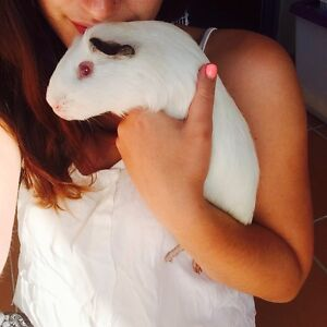 WANTED: Free Guinea Pig/Pigs! Helensvale Gold Coast North Preview