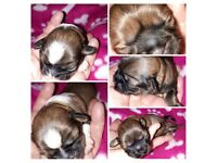 1/2 Imperial Shih Tzu Puppies