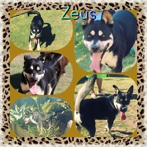 Zeus - Male Staffy cross Burpengary Caboolture Area Preview