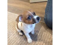 Jack Russell puppy ,miniature
