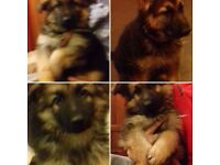 Champion line kc reg german shepherd puppies