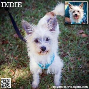 Indie - Small Male Terrier Mix Metford Maitland Area Preview
