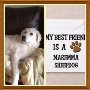 We are looking for a Maremma