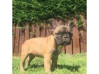 French bulldog puppy's Newcastle