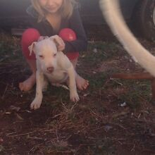 American staffy Rathdowney Ipswich South Preview