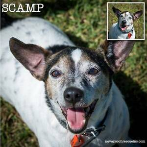 Scamp _ Small Male Tenterfield Terrier Mix Metford Maitland Area Preview