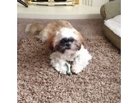 Forever home needed urgently for my precious brother & sister Shih Tzu's