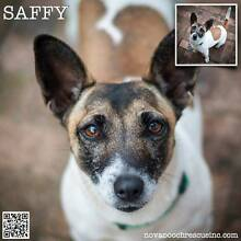 Saffy - Small Female Smooth Coat Jack Russell Terrier Mix North Arm Cove Great Lakes Area Preview