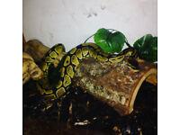 Royal python + Large Vivarium