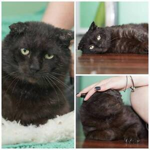 AC0493 : Igor - CAT FOR ADOPTION - Vet Work Included Westminster Stirling Area Preview