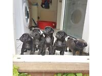 KC Registered PUG Pups *** READY NOW 11wks old; FULLY VACCINATED & MICROCHIPPED ***