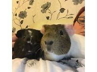 Guinea pigs plus indoor cage etc FREE to good home