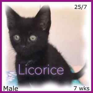 RESCUE KITTENS ♡ Fully vetted Yandina Maroochydore Area Preview