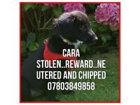 MISSING! Clara Age 29 weeks old. Black and White Cockerpoo Wirral Birkenhead Stolen