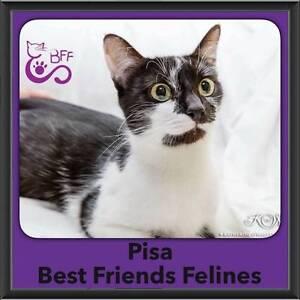 Pisa - Best Friends Felines Shailer Park Logan Area Preview