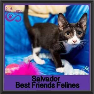 Salvador - Best Friends Felines Ferny Hills Brisbane North West Preview