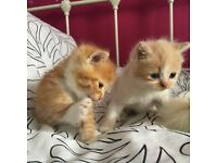 STUNNING Ginger and Cream PERSIAN X boy & girl