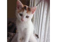 Female calico kitten