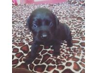 3 Labrador male puppies for sale
