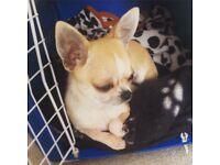 Amazing Chihuahua Girl