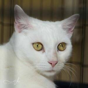 AC0542 : Ying - CAT for ADOPTION - Vet Work Included Helena Valley Mundaring Area Preview