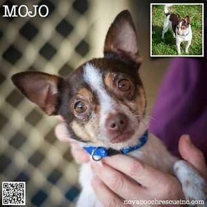 Mojo - Small Male Chihuahua x Fox Terrier Mix Metford Maitland Area Preview