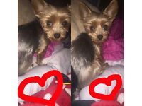 Yorkie baby girl needs sold asap £50